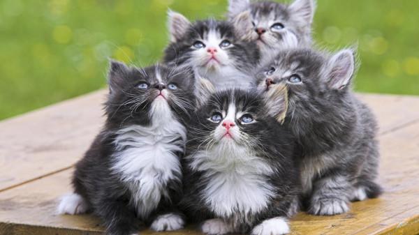 Persian_Kittens