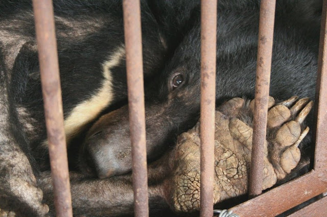 animals-asia-bear-caged