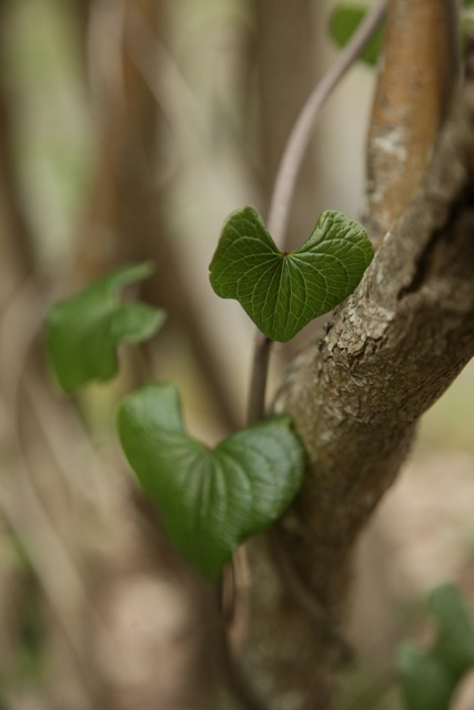 Black Bryony leaves