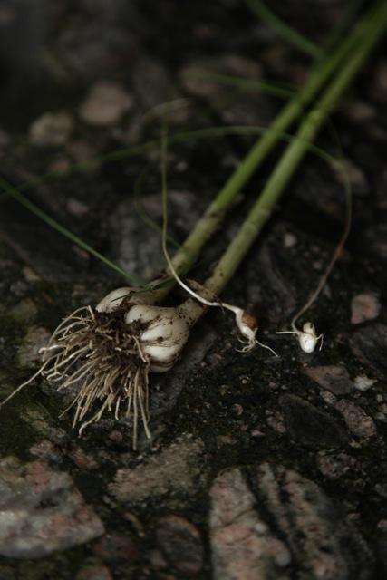 Wild onions