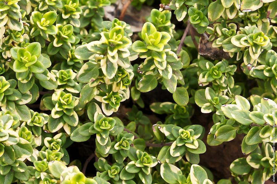 Thymus_citriodorus-05940